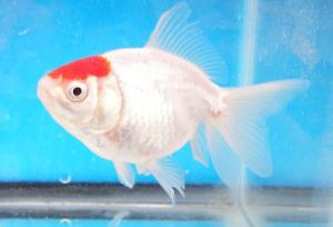 Tanch single tail Goldfish1